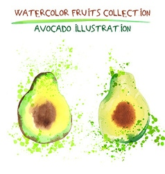 Avocado fruit isolated vector