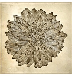 Drawing of dahlia flower vector