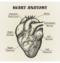 Black and white heart anatomy graphic vector