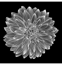Black and white drawing of dahlia vector