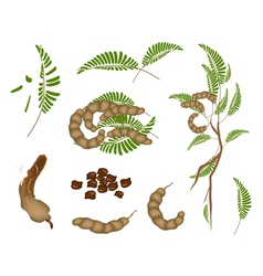 Set of fresh tamarind pod and leaves vector