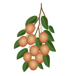 Fresh juicy rambutans on a tree branch vector
