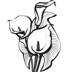 Sketch of calla lilies flowers vector