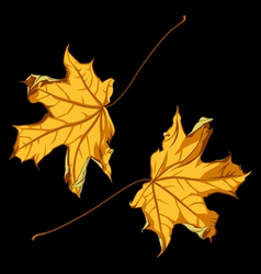 Pair of falling down maple leafs on black backgrou vector