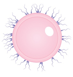 Egg and sperms vector