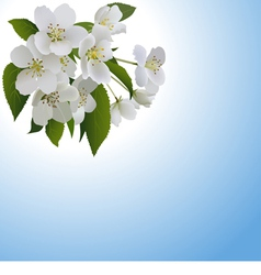 White apple flowers with leaves and bud vector