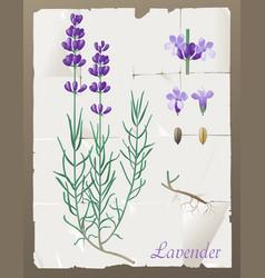 Lavender botanical drawing vector