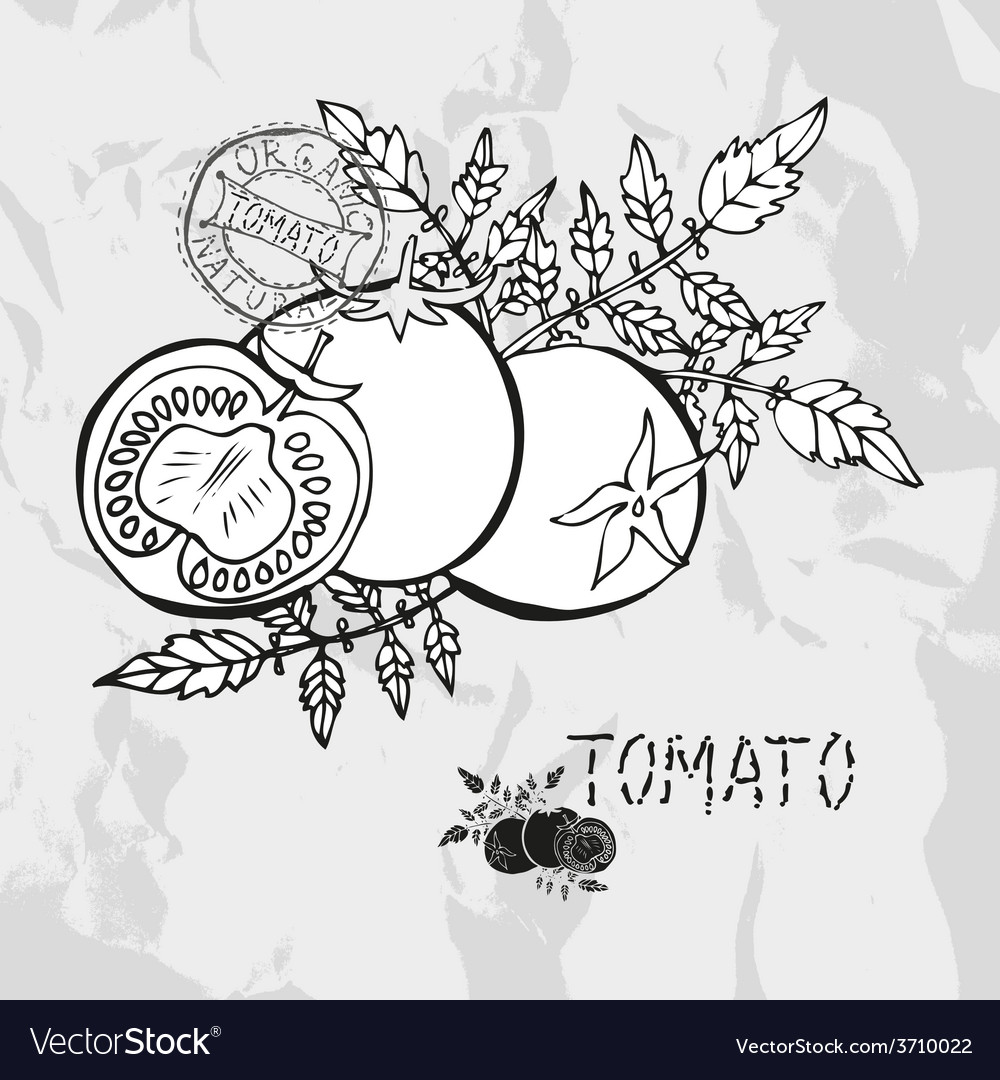 Hand drawn whole and sliced tomatoes vector | Price: 1 Credit (USD $1)