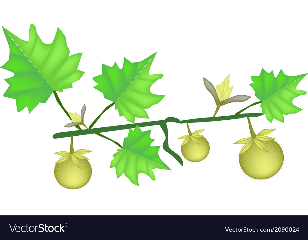 Solanum stramonifolium plant on a white background vector | Price: 1 Credit (USD $1)