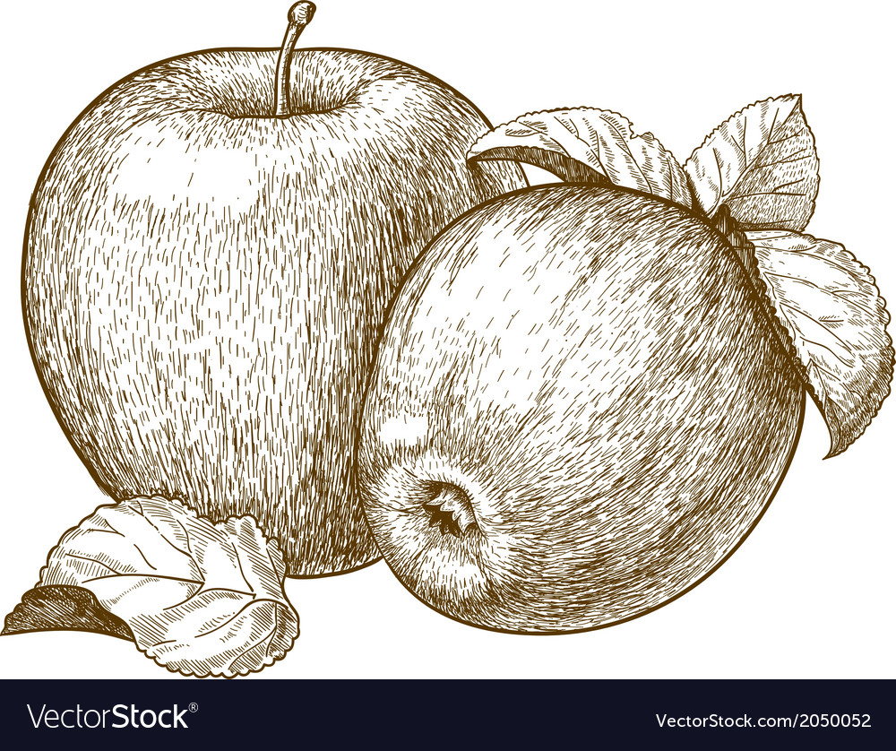 Engraving two apples vector | Price: 1 Credit (USD $1)