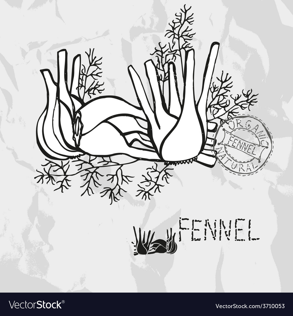 Hand drawn whole and sliced fennel vector | Price: 1 Credit (USD $1)