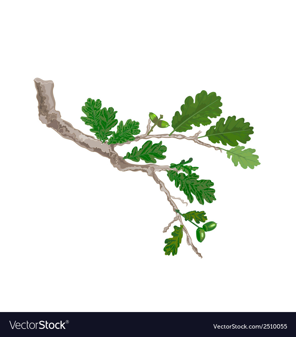 Oak-branch vector | Price: 1 Credit (USD $1)