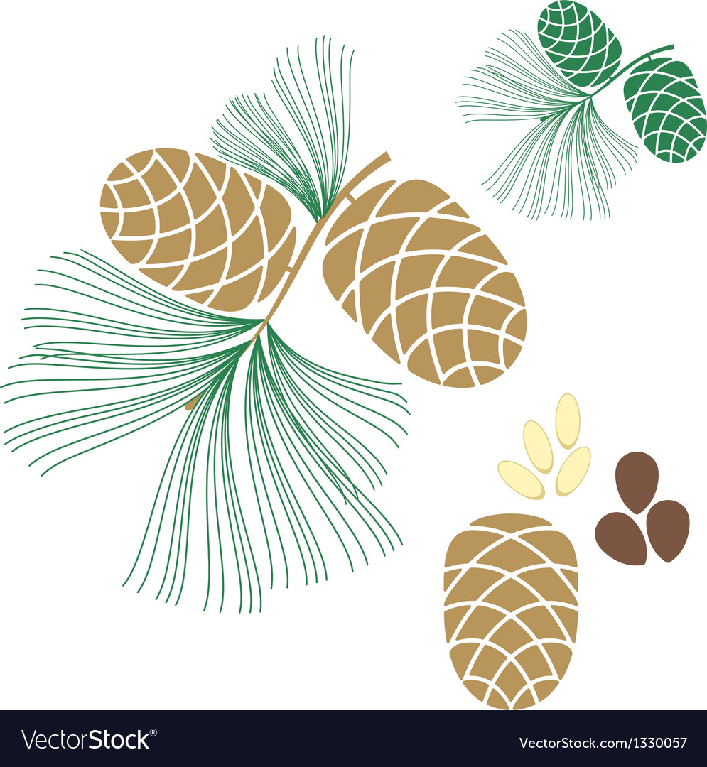 Pine cone cedar tree vector | Price: 1 Credit (USD $1)