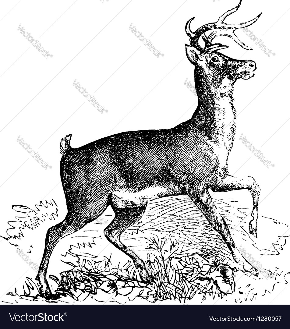 Virginia deer vintage engraving vector | Price: 1 Credit (USD $1)