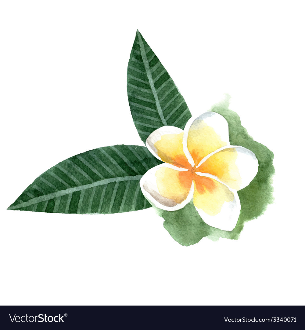 Watercolor frangipani flower vector   Price: 1 Credit (USD $1)