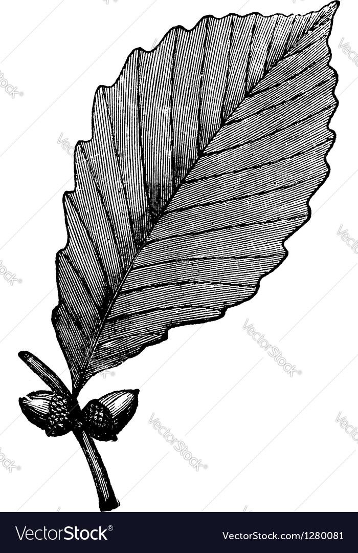 Chestnut oak vintage engraving vector | Price: 1 Credit (USD $1)