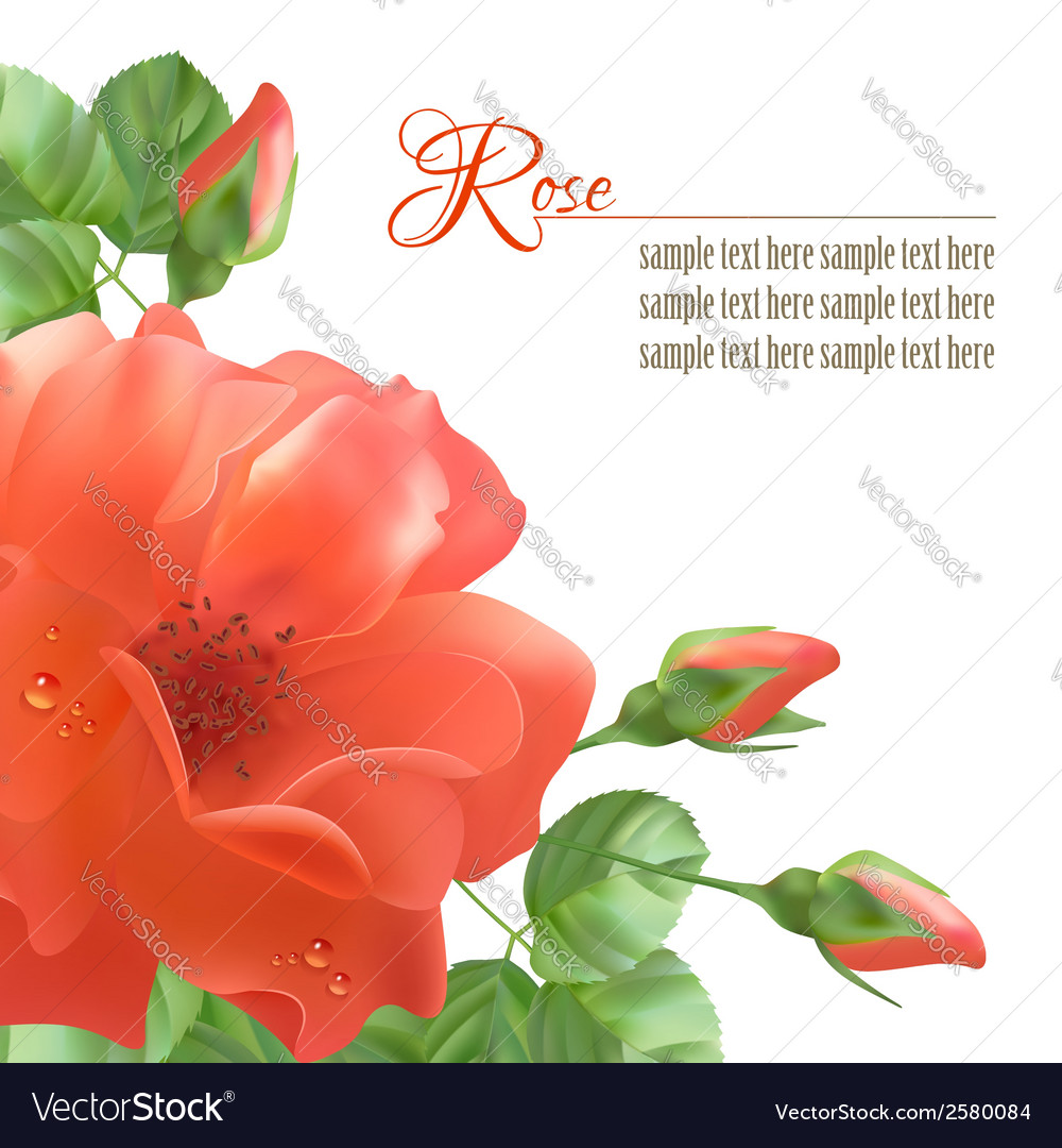 Flower rose background vector | Price: 1 Credit (USD $1)
