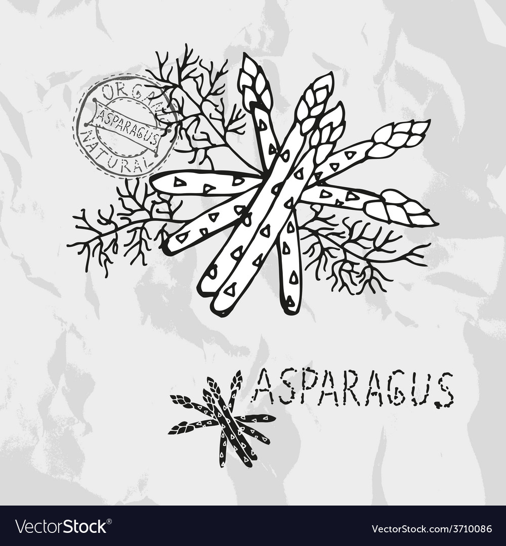 Hand drawn asparagus vector | Price: 1 Credit (USD $1)