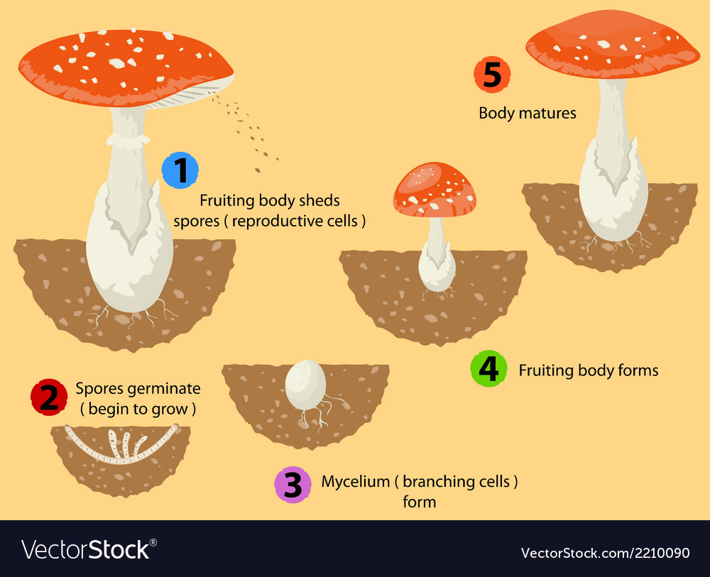 Fungi life cycle vector | Price: 1 Credit (USD $1)