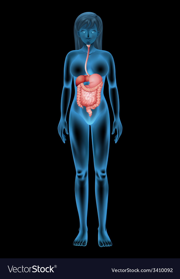 Female digestive system vector | Price: 1 Credit (USD $1)