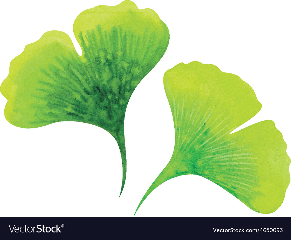 Ginkgo leaves vector