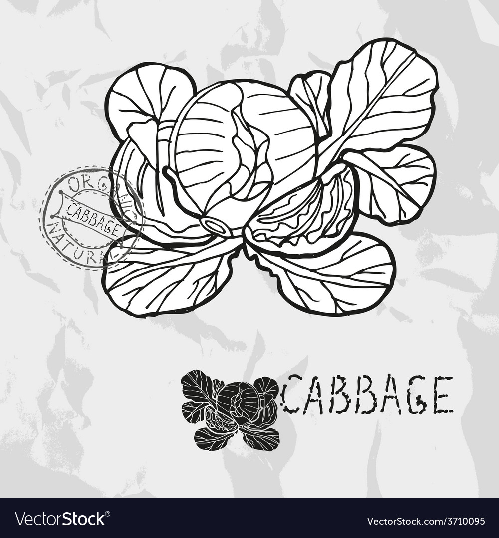 Hand drawn whole and sliced cabbage vector | Price: 1 Credit (USD $1)