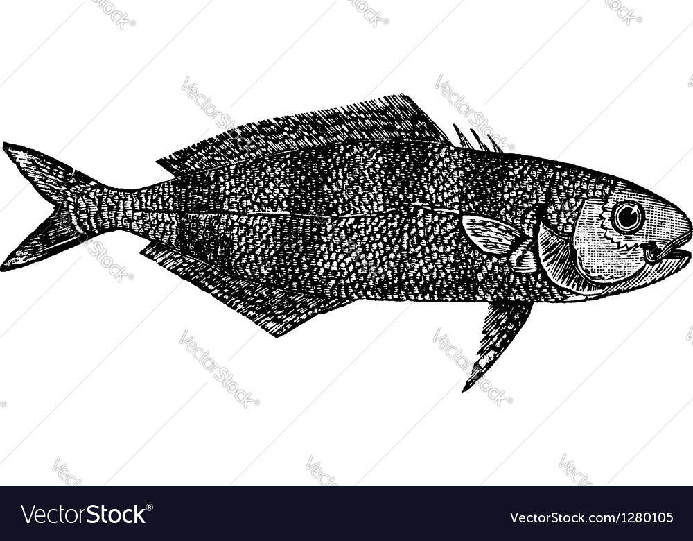 Pilot fish vintage engraving vector | Price: 1 Credit (USD $1)