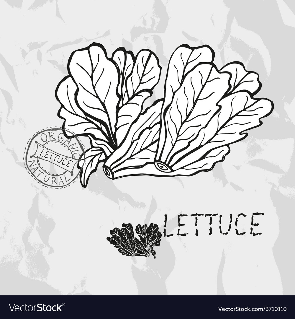 Hand drawn lettuce vector | Price: 1 Credit (USD $1)