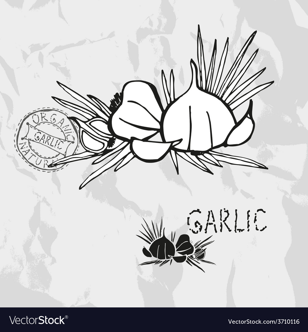 Hand drawn garlic vector | Price: 1 Credit (USD $1)