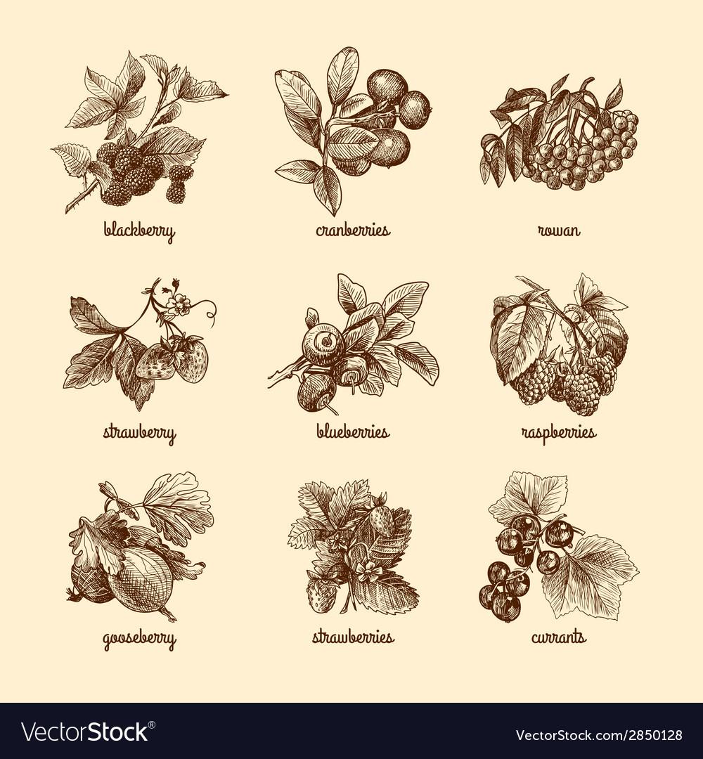 Sketch berries set vector | Price: 1 Credit (USD $1)