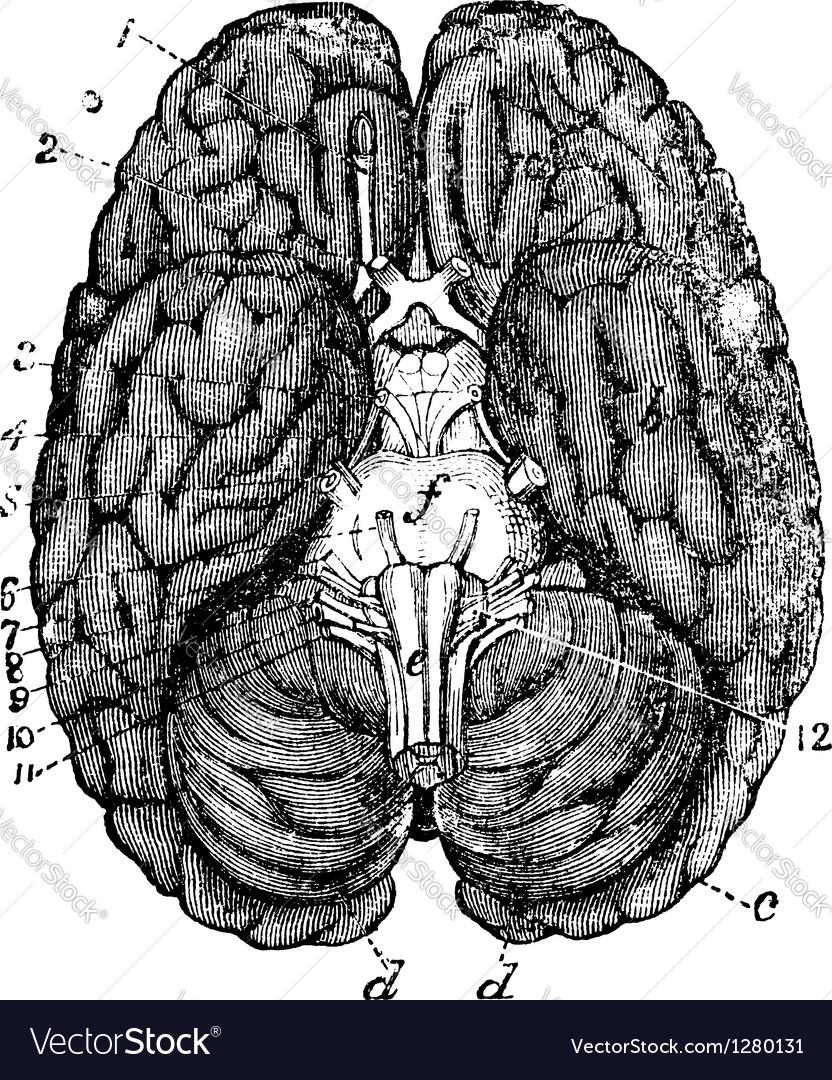 Human brain vintage engraving vector | Price: 1 Credit (USD $1)