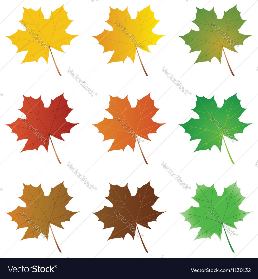 Maple leaves vector | Price: 1 Credit (USD $1)