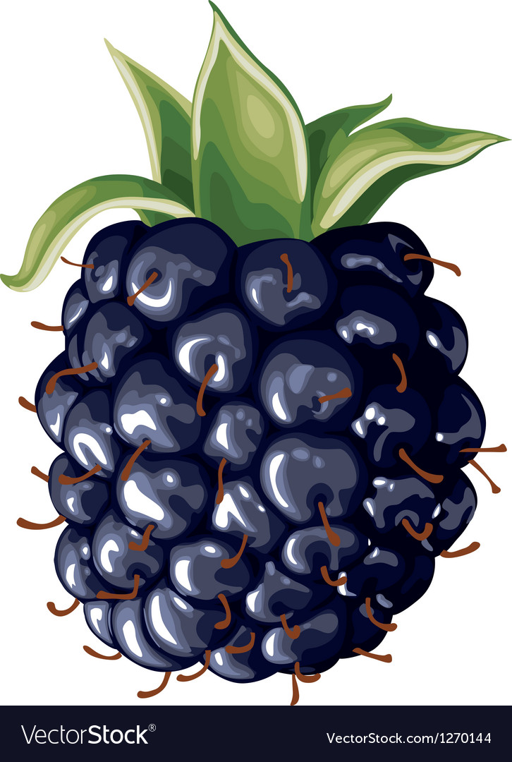 Blackberry vector | Price: 3 Credit (USD $3)