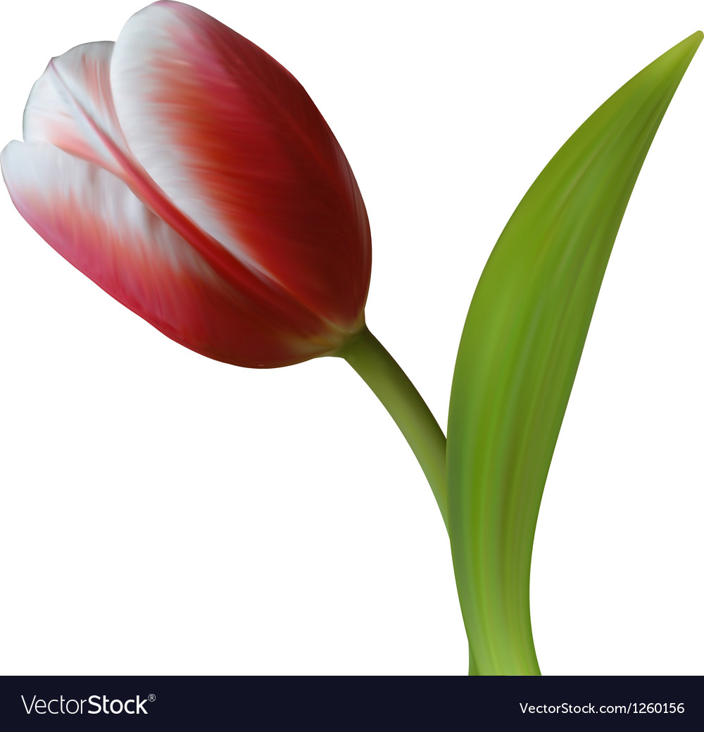 Close up of tulip flower on white background vector | Price: 3 Credit (USD $3)