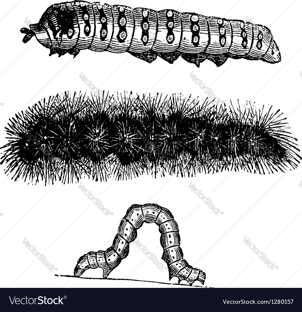 Caterpillar vintage engraving vector | Price: 1 Credit (USD $1)
