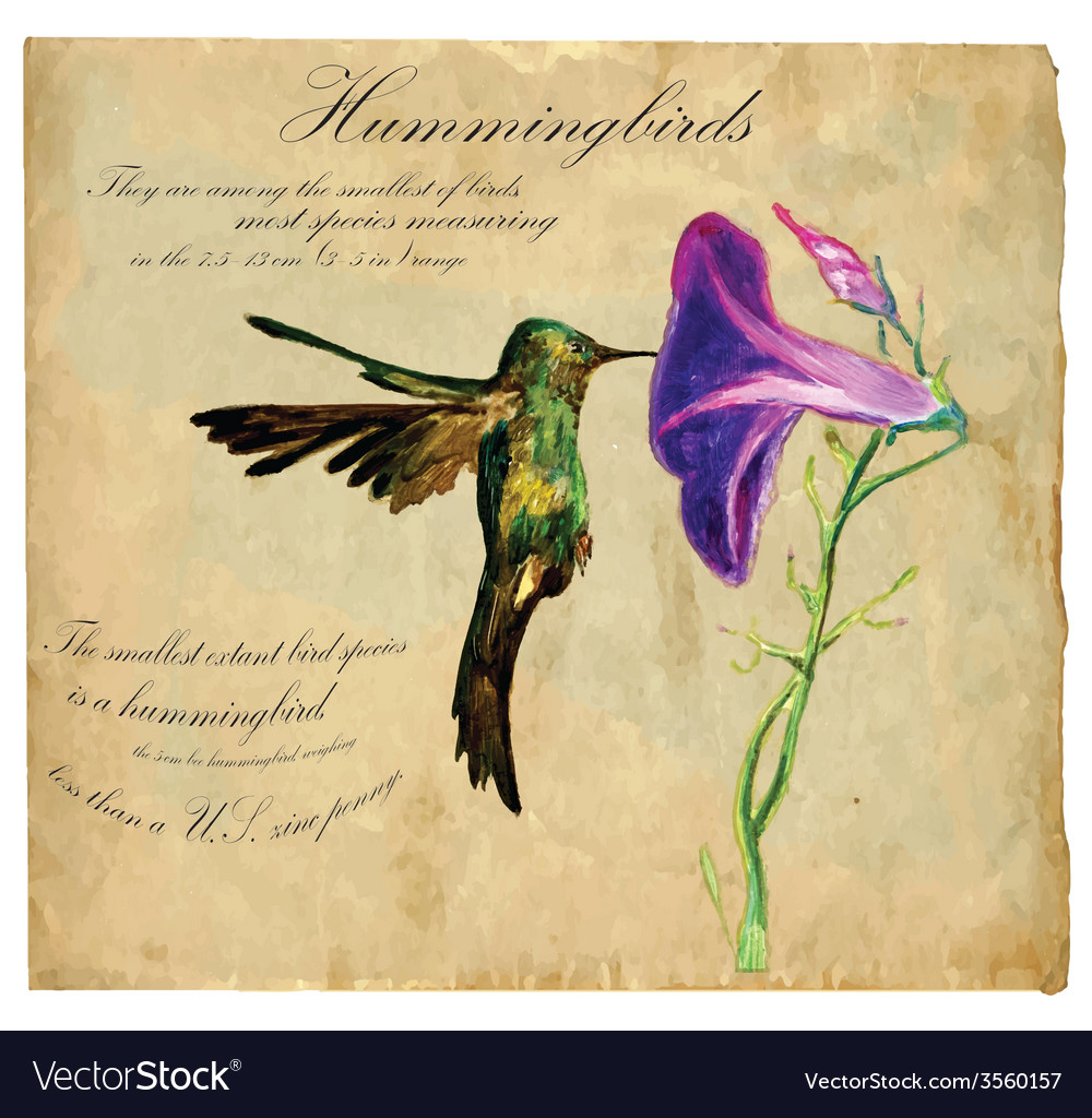 Hand painted bird hummingbird vector | Price: 3 Credit (USD $3)