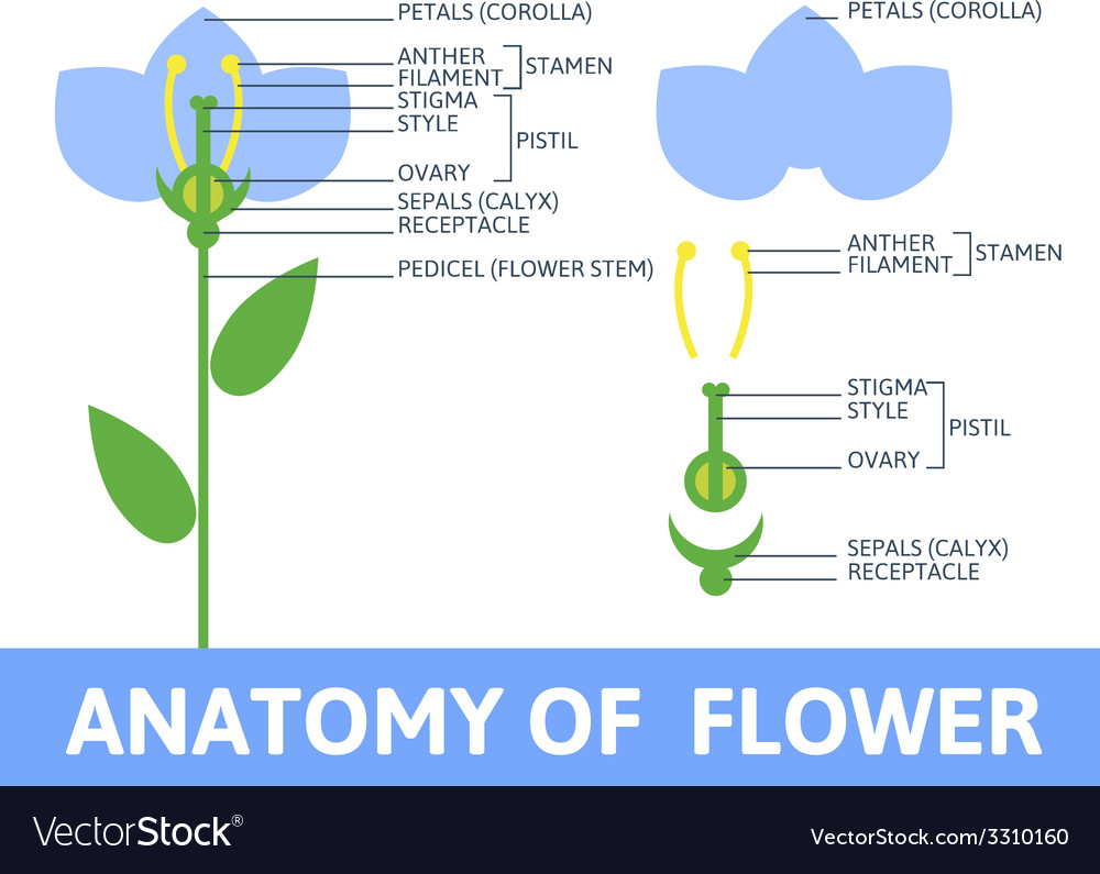 Detail of anatomy flower vector | Price: 1 Credit (USD $1)