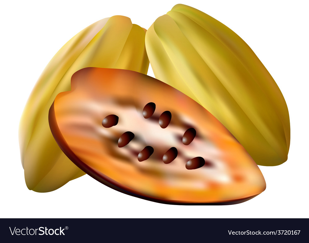 Cocoa pods vector | Price: 1 Credit (USD $1)