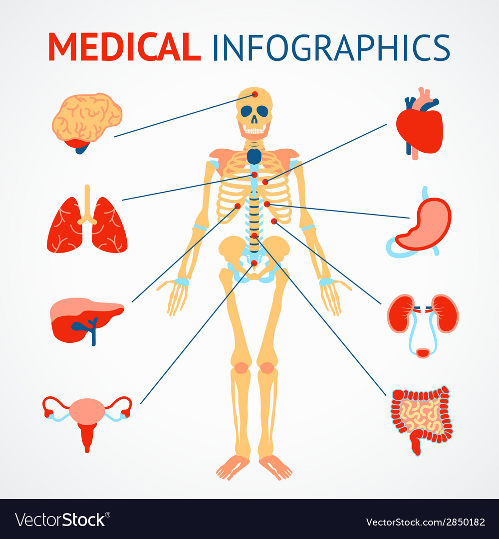 Human organs infographic vector