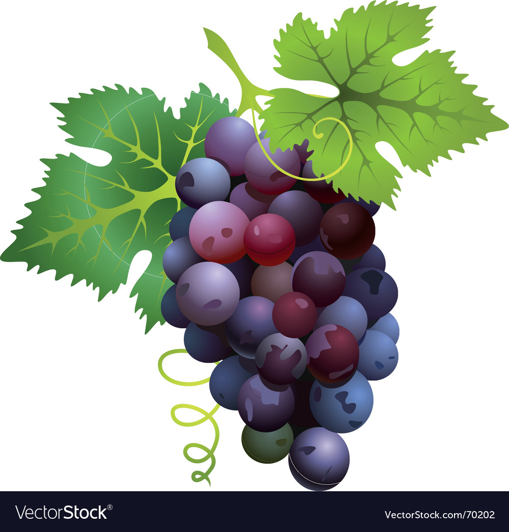 Black grapes vector | Price: 1 Credit (USD $1)