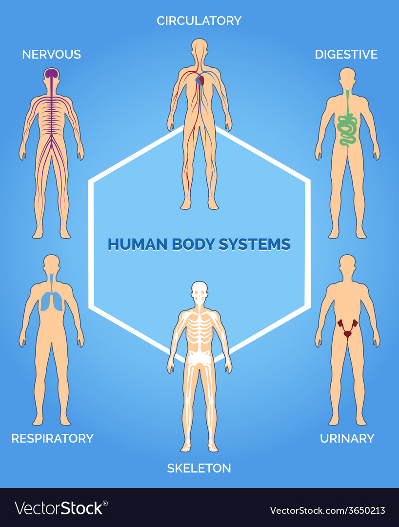 Human body systems vector | Price: 1 Credit (USD $1)