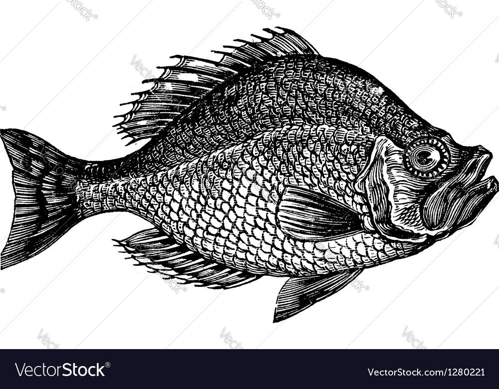 Rock bass vintage engraving vector | Price: 1 Credit (USD $1)