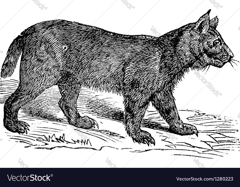 Lynx vintage engraving vector   Price: 1 Credit (USD $1)