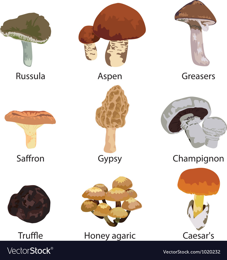 Set of edible mushrooms vector | Price: 1 Credit (USD $1)