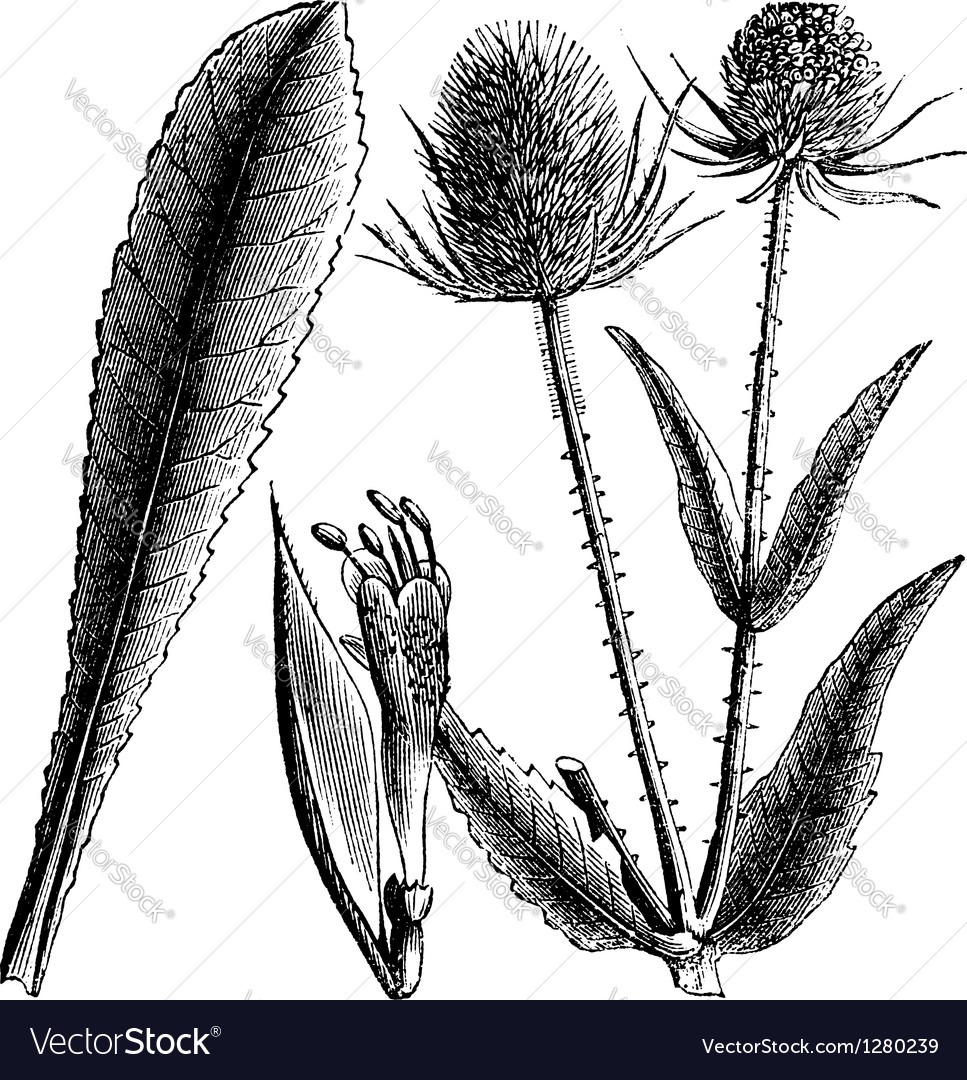 Wild teasel vintage engraving vector | Price: 1 Credit (USD $1)