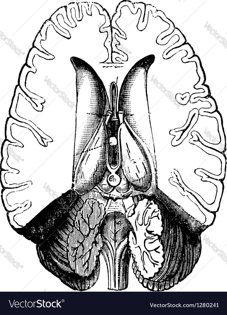 Human brain engraving vector   Price: 1 Credit (USD $1)