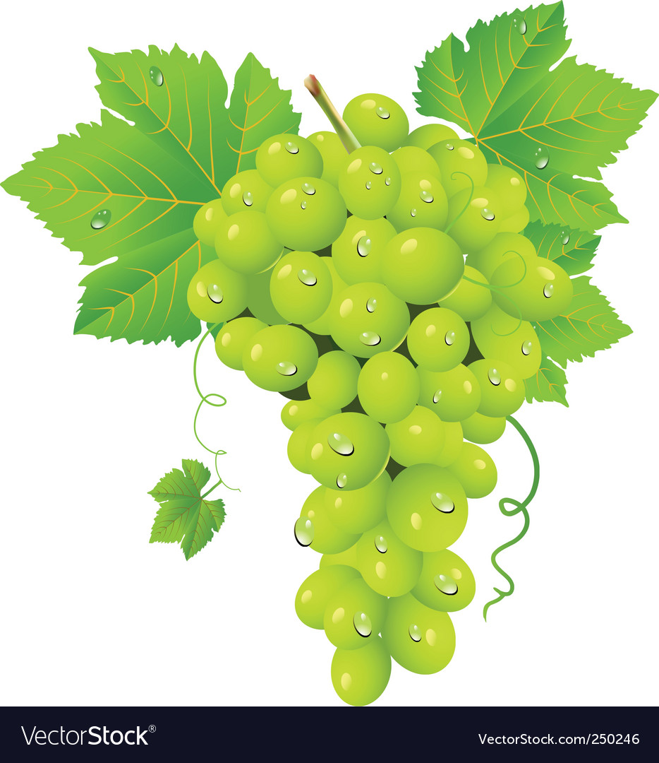 White grape cluster vector   Price: 3 Credit (USD $3)