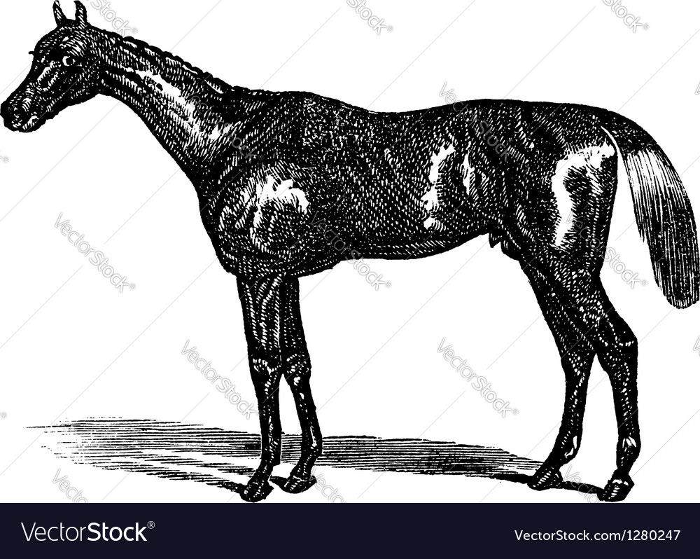 Thoroughbred vintage engraving vector | Price: 1 Credit (USD $1)