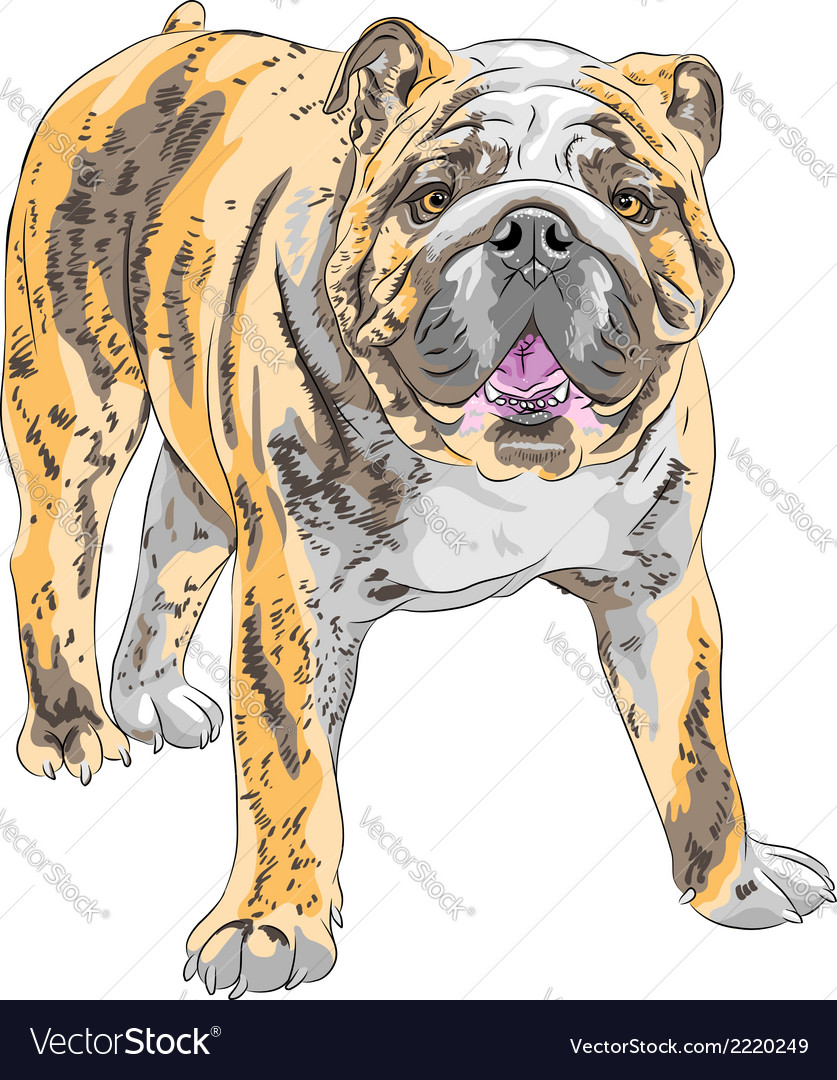 Dog english bulldog vector | Price: 1 Credit (USD $1)