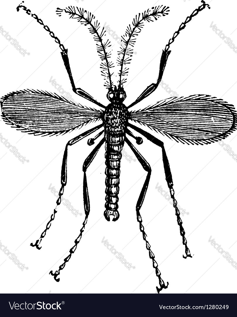 Hessian fly vintage engraving vector   Price: 1 Credit (USD $1)